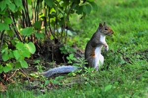Squirrel by Gardner41 on Flickr